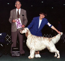 English Setter - Esquire Looney Tunes Taz