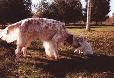 English Setter - Rogresta Lord Devereux and Son